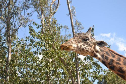 žirafa,suaugęs,gyvūnas,laukinė gamta,žinduolis,gamta,aukštas,kaklas,afrika,rudos dėmės,zoologijos sodas,galva,modelis,Uždaryti,ilgas kaklas,didelis,veidas,pavasaris,parkas