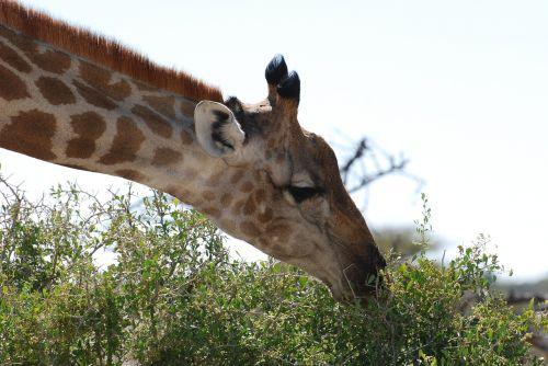žirafa, gamta, safari
