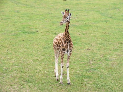 žirafa,gyvūnai,gamta,laukinė gamta,zoologijos sodas