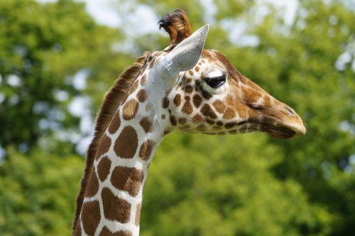 žirafa, zoologijos sodas, pomidorai, Bedfordshire, gyvūnas, gamta, safari, kaklas, aukštas