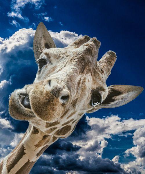 žirafa, juokinga, debesys, dangus, laukiniai, gyvūnas, galva, laukinis gyvūnas