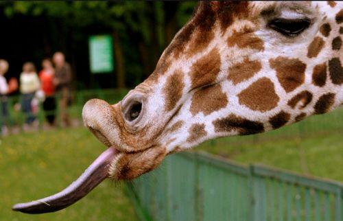 žirafa, emocijos, juokinga