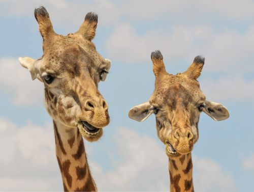 žirafa,gyvūnai,zoologijos sodas,juokinga,fauna,mielas,žinduolis,laukinė gamta,Lowry parko zoologijos sodas,Tampa