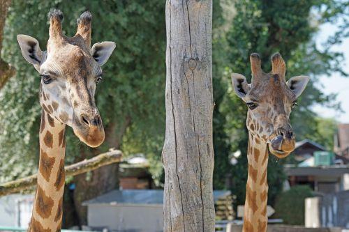 žirafa,atrajotojas,paarhufer