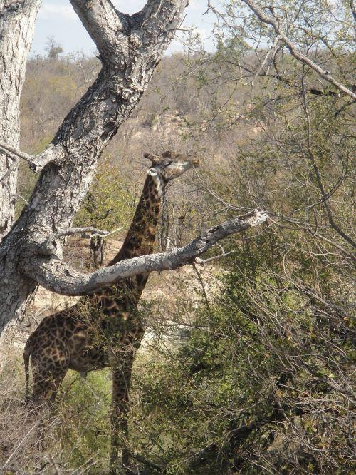 žirafa,ilgai,afrika,laukinis gyvūnas,Nacionalinis parkas,pietų Afrika