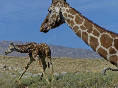 žirafa, žiūri, kūdikis & nbsp, žirafa, gremėzdiškas, žolė, kojos & nbsp, plitimą, mama, lauke, gyvūnas, laukinė gamta, žirafa ir jos kūdikis
