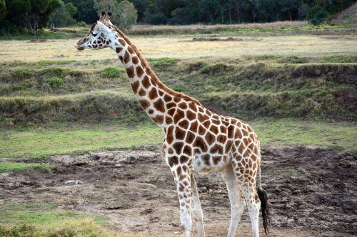 žirafa, aukštas, gyvūnas, laukiniai, juostelės, gamta, žirafa Werribee parke