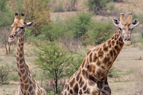 žirafos,įdomus,nuotykis,safari,vaizdingas,gražus,įdomus,saulės miestas,Pilanesbergo žaidimų rezervas,Johanesburgas,pietų Afrika