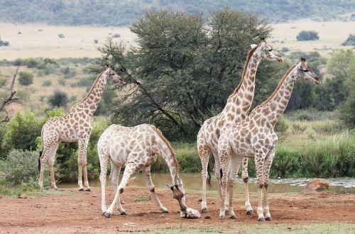 žirafos,pietų Afrika,dykuma,safari,žirafa,afrika,Nacionalinis parkas