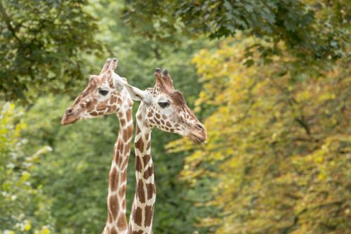 žirafos,kaklas,žirafos kaklas,zoologijos sodas,gyvūnas,gamta,žinduolis,ilgai jibe,dėmės,datailaufnahme,gyvūnų pasaulis,žirafos galvutė