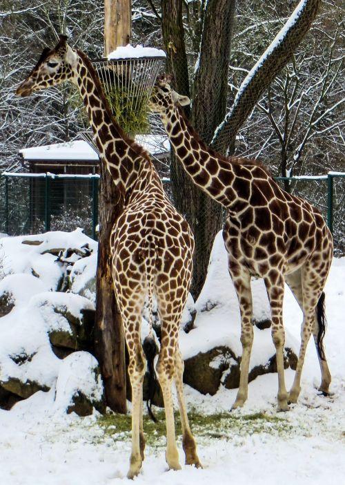 žirafos,tiergarten,žiema,zoologijos sodas,retikuliuotas žirafas,sniegas
