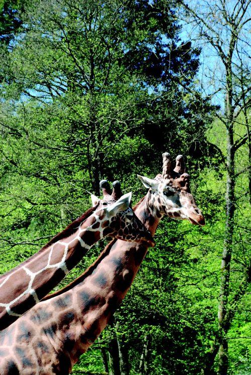 žirafos,zoologijos sodas,kaklas,afrika,modelis,retikuliuotas žirafas,gamta,laukinis gyvūnas,pora