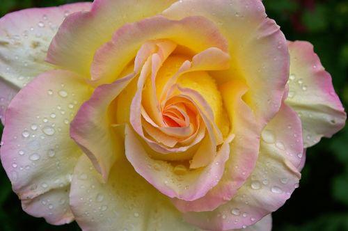 gloria dei, rožė, sodo rožė, žiedas, žydėti, vasara, sodas, žydėti, išaugo žydėti, žiedlapiai, gražus, grožis, romantiškas, kvepalai, meilė, romantika, vestuvių dieną, augalas