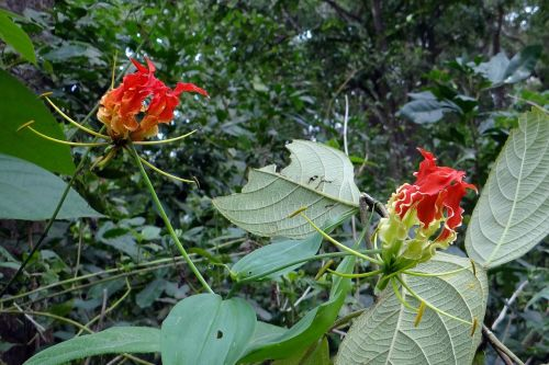 šlovės lelija,gėlė,raudona,raudona,gloriosa,kolchicaceae,liepsna lelija,gaisrinė lelija,gloriosa lelija,puiki lelija,laipiojimo lelija,roplinė lelija,flora,creeper,laukinė gėlė,yellapura,Karnataka,Indija