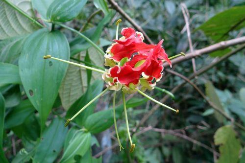 šlovės lelija,gėlė,raudona,raudona,gloriosa,kolchicaceae,liepsna lelija,gaisrinė lelija,gloriosa lelija,puiki lelija,laipiojimo lelija,roplinė lelija,flora,creeper,laukinė gėlė,yellapur,Karnataka,Indija