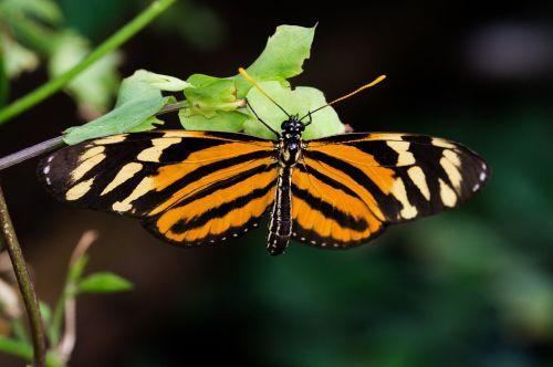 šlovės aistra drugelis,philaethria dido,edelfalter