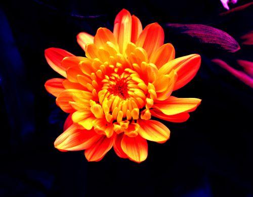 gėlės, žiedlapiai, fonas, žiedadulkės, objektas, tapetai, geltona, oranžinė, žėrintis & nbsp, gėlė, žėrintis gėlė