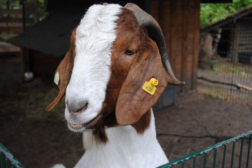ožka,gyvūnas,zoologijos sodas,ūkis,padaras,ėriukai,ragai,vaikas,kalnu ozka
