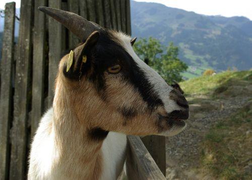 ožka,naminis gyvūnėlis,vaikas,nykštu ožka,gyvuliai,mielas,naminė ožka,gyvūnas