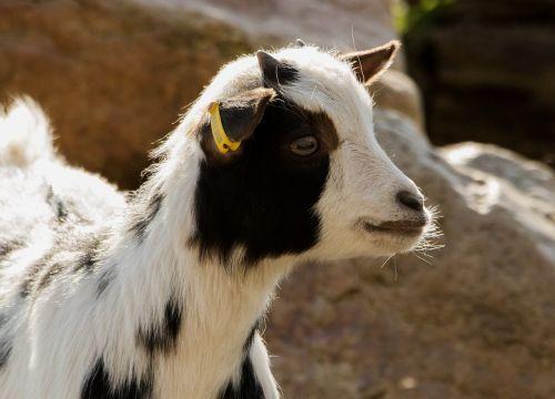 ožka,zoologijos sodas,naminė ožka,kalnu ozka,gyvuliai,gaubtas,Billy ožkos,ragai