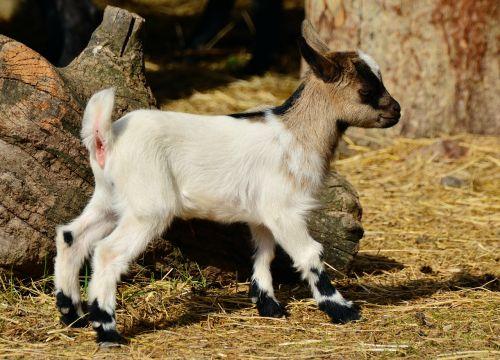 ožka,jaunoji ožka,jaunas gyvūnas,vaikas,ūkis,maža ožka,naminė ožka,kailis,žinduolis,jaunas