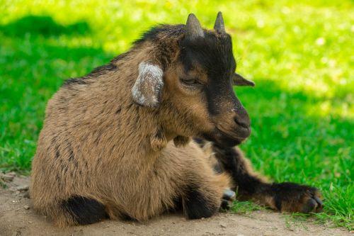 ožka,nykštu ožka,naminė ožka,kūdikių ožka,čiobreliai,naminis gyvūnėlis,mielas,Vakarų Afrika,gyvūnas,Uždaryti,raguotas,ragai,gamta