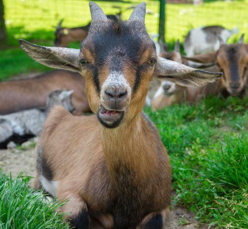 ožka,naminė ožka,nykštu ožka,mielas,gyvūnas,padaras,ragai,gamta,kramtyti