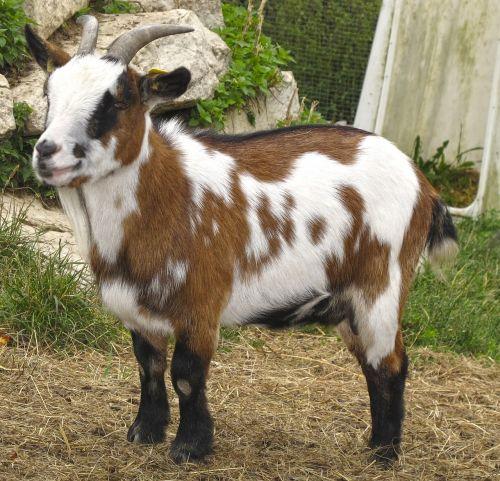 ožka,vaikas,maža ožka,jaunas gyvūnas,naminė ožka,jaunoji ožka,ūkis,naminis gyvūnėlis,laukinės gamtos fotografija