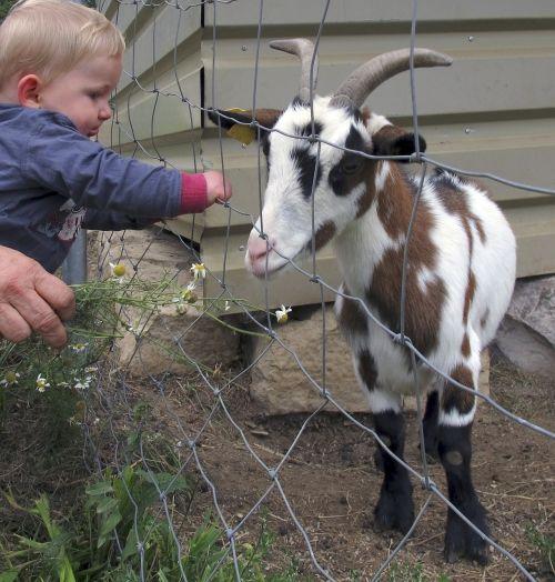 ožka,vaikas,mažas vaikas,tvora,maža ožka,jaunas gyvūnas,naminė ožka,jaunoji ožka,ūkis,naminis gyvūnėlis,susitikimas,laukinės gamtos fotografija
