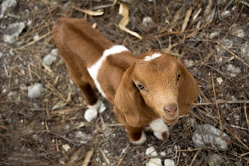 ožka,vaikas,gyvūnas,gamta,ūkis,avys,ėriena,gyvūnų pasaulis,mėsa,laukas,fauna,kaimas,kava