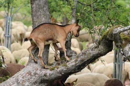ožka,lipti,medis