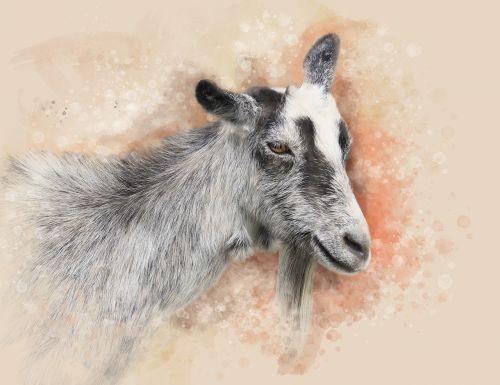 ožka,gyvūnas,naminis gyvūnėlis,Iš arti,Afrikos ragas,gamta,ovis,galva
