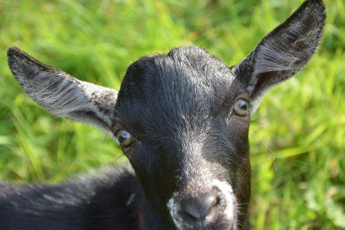 ožka,portretas,galvos gyvūnas,žalios akys,ilgos ausys,gamta,naminis gyvūnas,ožkinis kalnas,kirpėjas,žolėdis,gyvūnas