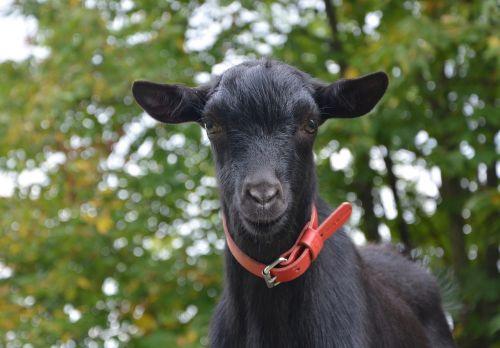 ožka,jaunoji ožka,laukas,prairie,pre,maža ožka,žolėdis,portretas,žiūrėti ožką,švelnus,kompanionas,ilgos ausys