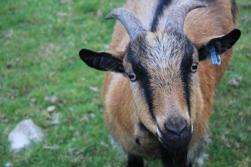 ožka,ūkis,žiūri,žvilgsnis,ruda,ragai,kaimas,kaimas,raguotas,gyvūnas,Žemdirbystė,mielas,kaimas,lauke