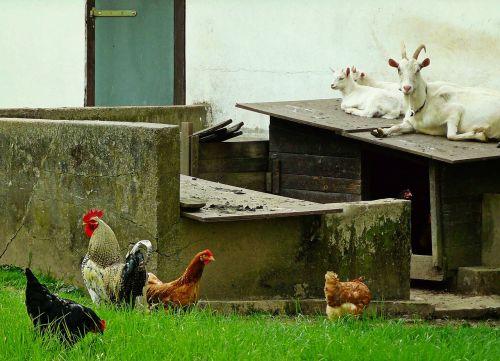 ožkos,viščiukai,gyvūnai,šalies gyvenimas,ūkis,stalas,gyvūnų pasaulis,laisvas asortimentas,Billy ožkos,naminiai paukščiai,lauke,gyvuliai,hof,gamta,Žemdirbystė,sodyba,Vokietija,eifel,idilija,šalies idilija,hahn