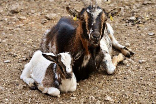 ožkų, Mama, vaikas, jauna gyvūnų, mielas, mažas, jauna, kailiai, keturkojis