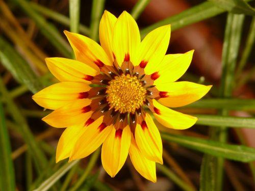aukso vidurdienis,gazanie,vidurnakčio aukso gėlė,sonnentaler,flora,geltona,žiedas,žydėti,augalas,saulėtas,saulėtas geltonasis,šviesus,Uždaryti