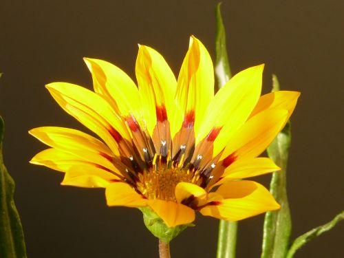 aukso vidurdienis,gazanie,vidurnakčio aukso gėlė,sonnentaler,flora,geltona,žiedas,žydėti,augalas,saulėtas,saulėtas geltonasis,šviesus