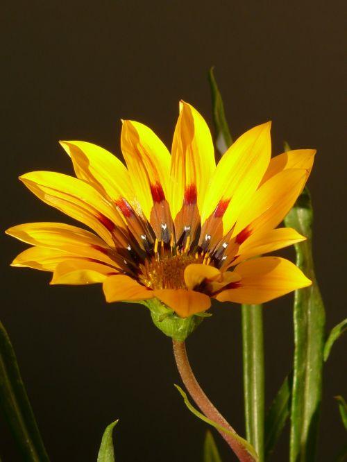 aukso vidurdienis,gazanie,vidurnakčio aukso gėlė,sonnentaler,flora,geltona,žiedas,žydėti,augalas,saulėtas,saulėtas geltonasis,šviesus,gazania splendens