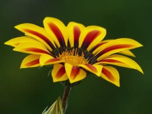 aukso vidurdienis,gazanie,vidurnakčio aukso gėlė,sonnentaler,flora,geltona,žiedas,žydėti,augalas,saulėtas,saulėtas geltonasis,šviesus,gazania,kompozitai,asteraceae,žydinčių augalų