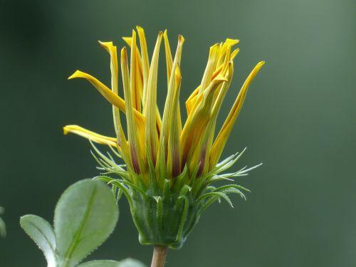 aukso vidurdienis,gazanie,uždaryta,į,vidurnakčio aukso gėlė,sonnentaler,flora,geltona,žiedas,žydėti,augalas,saulėtas,saulėtas geltonasis,šviesus