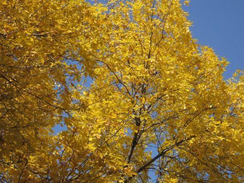 auksinis,lapai,kritimas,aukso ruduo,ruduo,fonas,geltona,gamta,sezonas,medis,spalvinga,aukso geltona