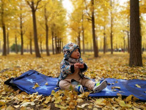 aukso ruduo,ginkmedis,parkas,ginkmedžio miškas,auksas,ruduo,geltona,aukso geltona,kūdikis