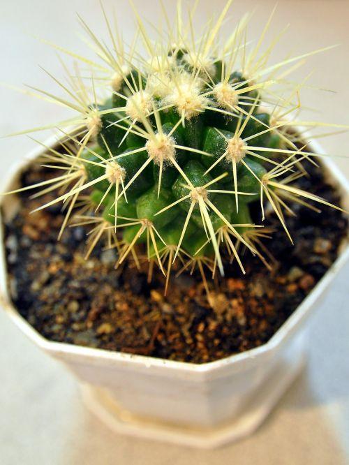 auksinis rutulys,echinokaktumas,aukso kaktusas kaktusas,kaktusas,augalas,natūralus,žiedas,botanikos,ekologiškas,stiebas,botanika,žolė,Žemdirbystė,sodininkystė,augmenija