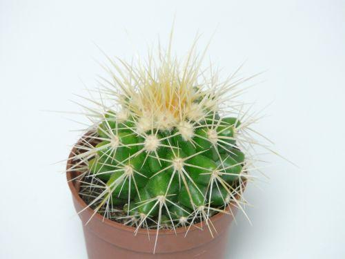 aukso kaktusas kaktusas,kaktusas,kaktusas šiltnamius,echinokaktumas,paskatinti,dygliuotas,augalas,žalias,motina kėdė,smailas,echinocactus grusonii