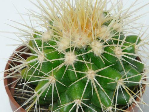 aukso kaktusas kaktusas,kaktusas,echinocactus grusonii,kaktusas šiltnamius,echinokaktumas,paskatinti,dygliuotas,augalas,žalias,motina kėdė,smailas