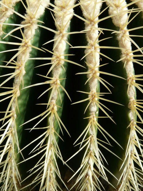 aukso kaktusas kaktusas,kaktusas,kaktusas šiltnamius,echinokaktumas,paskatinti,dygliuotas,augalas,žalias