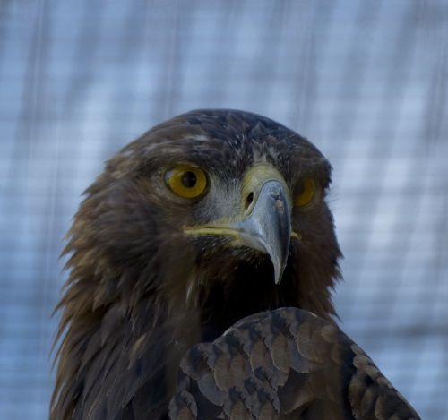 zoologijos sodas, erelis, šūvis į galvą, auksinis & nbsp, erelis, ruda, snapas, plėšrūnas, paukštis, galva, veidas, auksinės akys, aukso erelio galvą