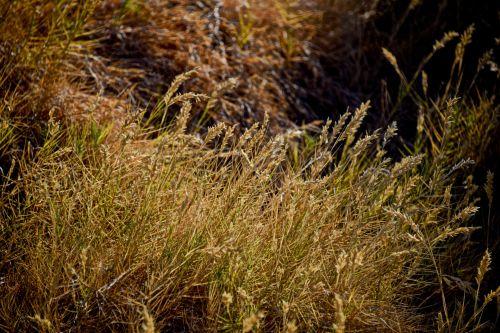 nendrės, auksinis, žolė, dusk, vėjas, fonas, tapetai, druska & nbsp, jūra, gamta, lauke, kraštovaizdis, aukso žolės dangus